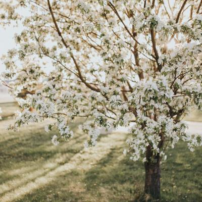 Spring Blossoms in Rapid City