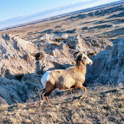 Badlands Wildlife