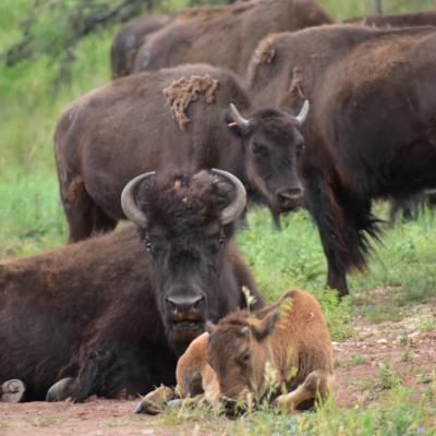 Mama and Her Calf