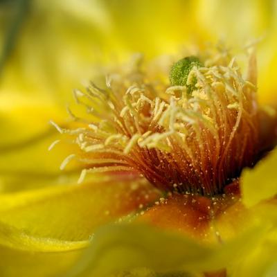 Wind Cave Cactus Bloom