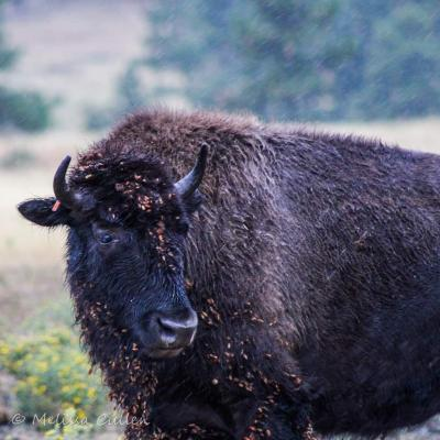 Stare of Bison