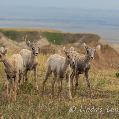 The Bighorn Gang