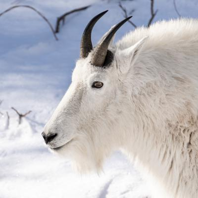 Canyon Mountain Goat