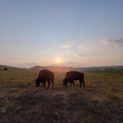 Bison at Sunset