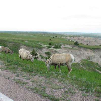 Bighorn Sheep in the Badlands