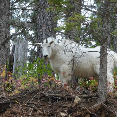 Goat My Eyes On You
