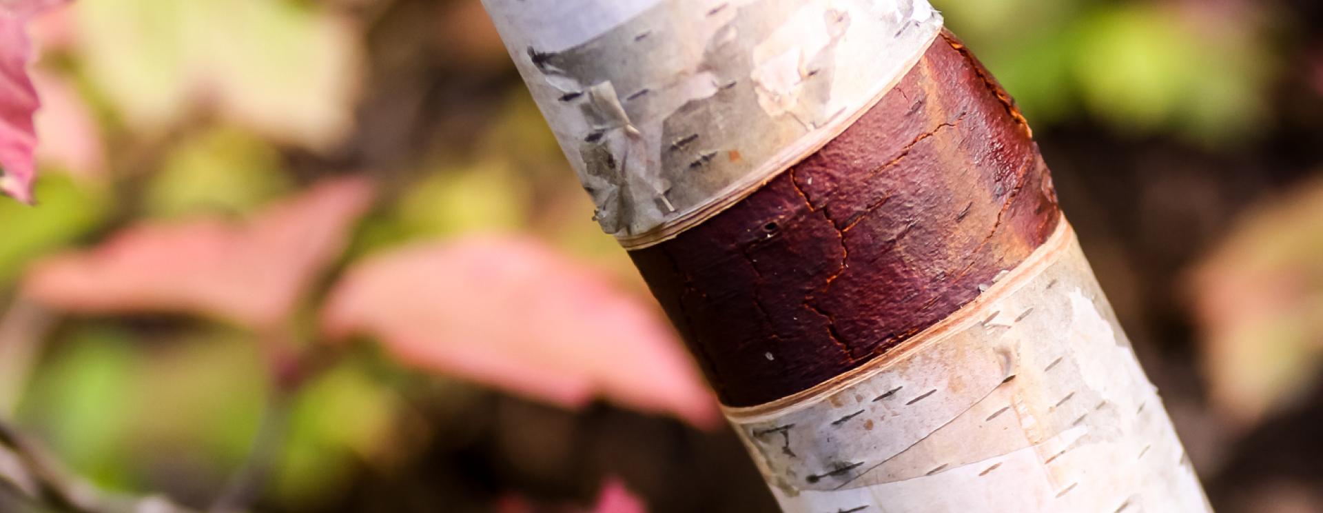 Aspen & Birch—Distinguishing the Differences