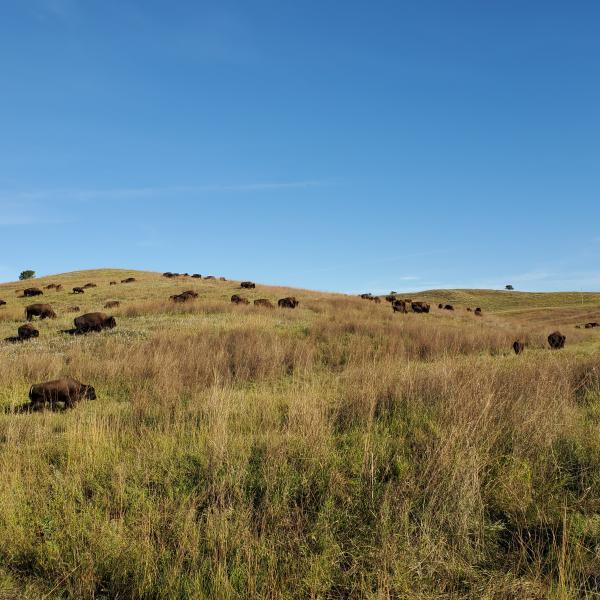 Buffalo on Wildlife Loop