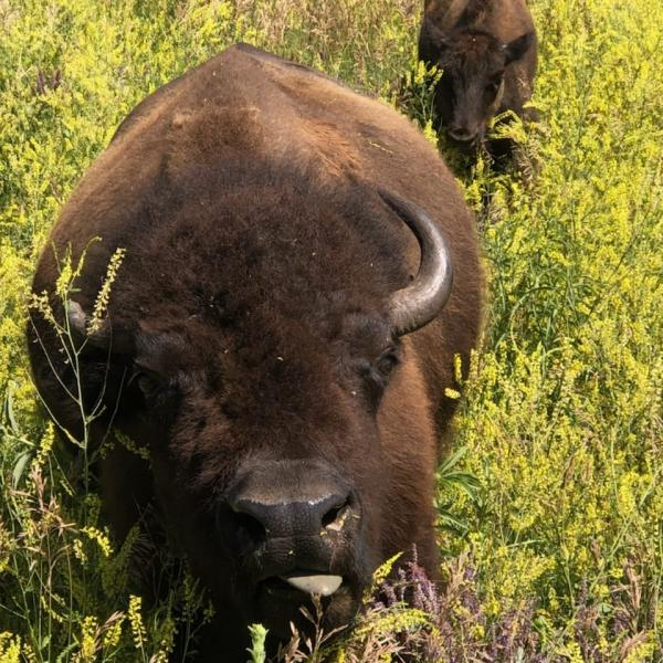 Immature Buffalo