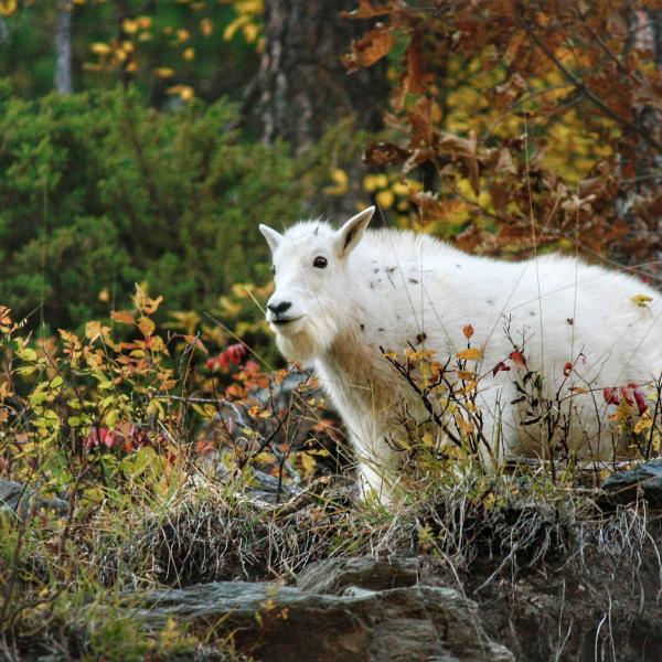Spearfish Canyon mountain goat kid