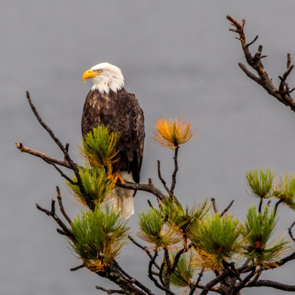 Bald Eagle at Pactola Reservoir