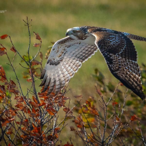 Redtail Hawk in Autumn surroundings