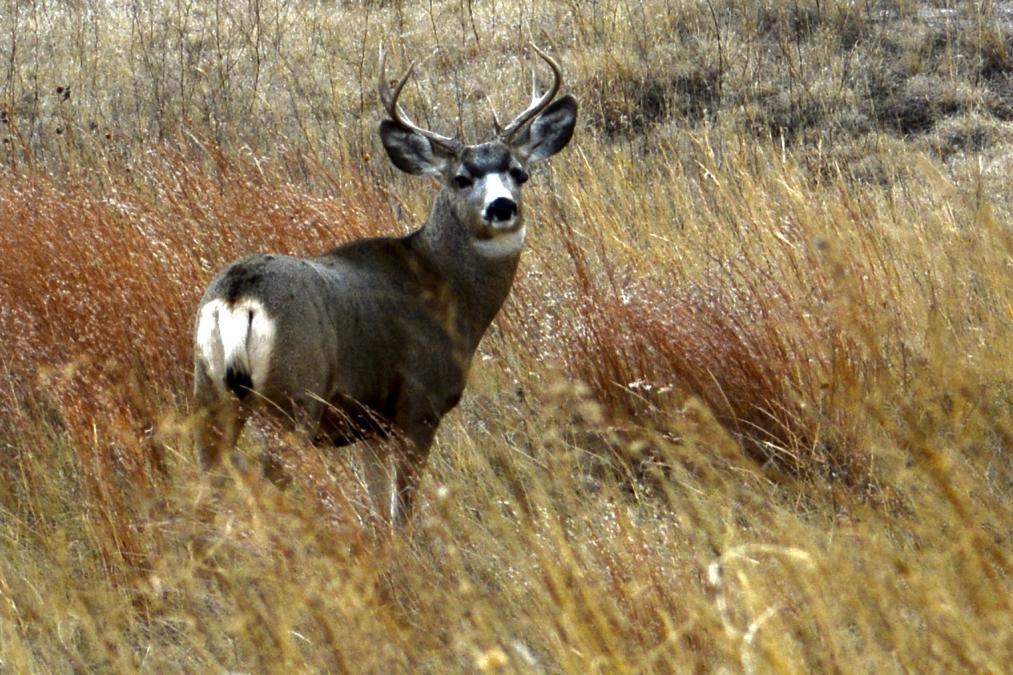 Beautiful Strong Buck