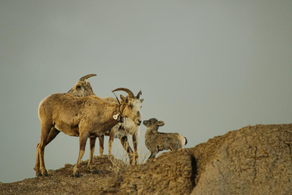 A Momma and Her Baby in Badlands National Park.