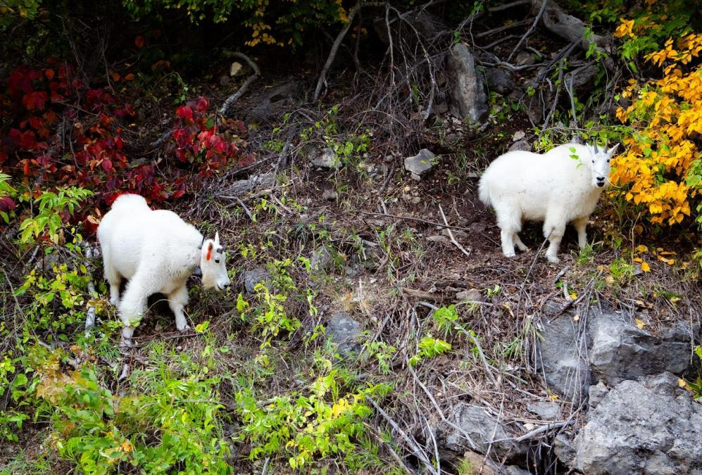 Triage of Mountain Goats