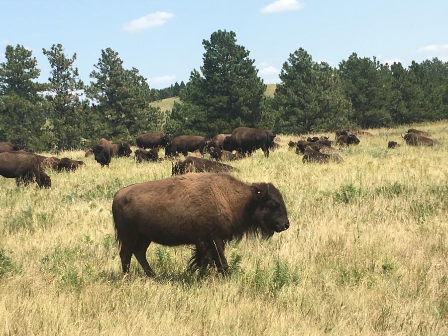 Buffalo Rest
