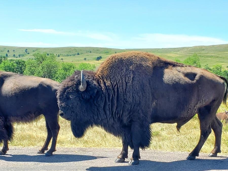 Bison Standing
