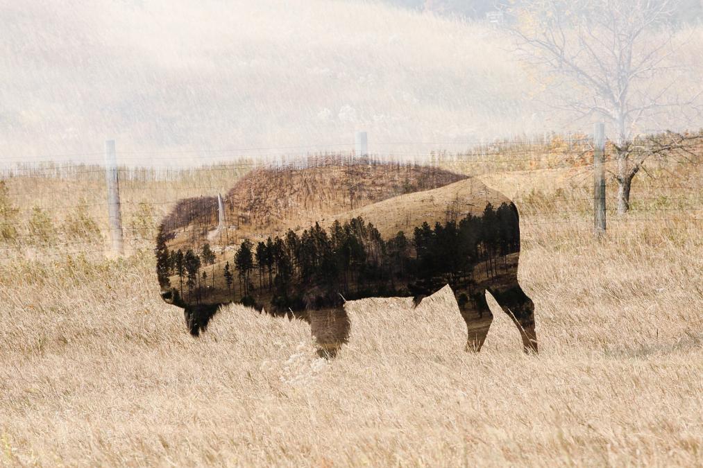 Black Hills Bison