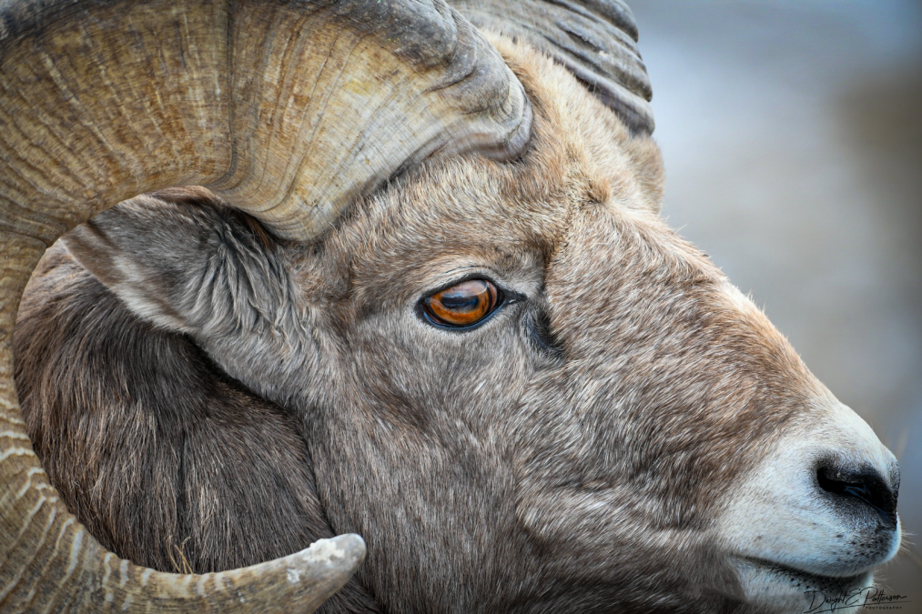 An Eye for Ewe - Badlands Bighorn Sheep