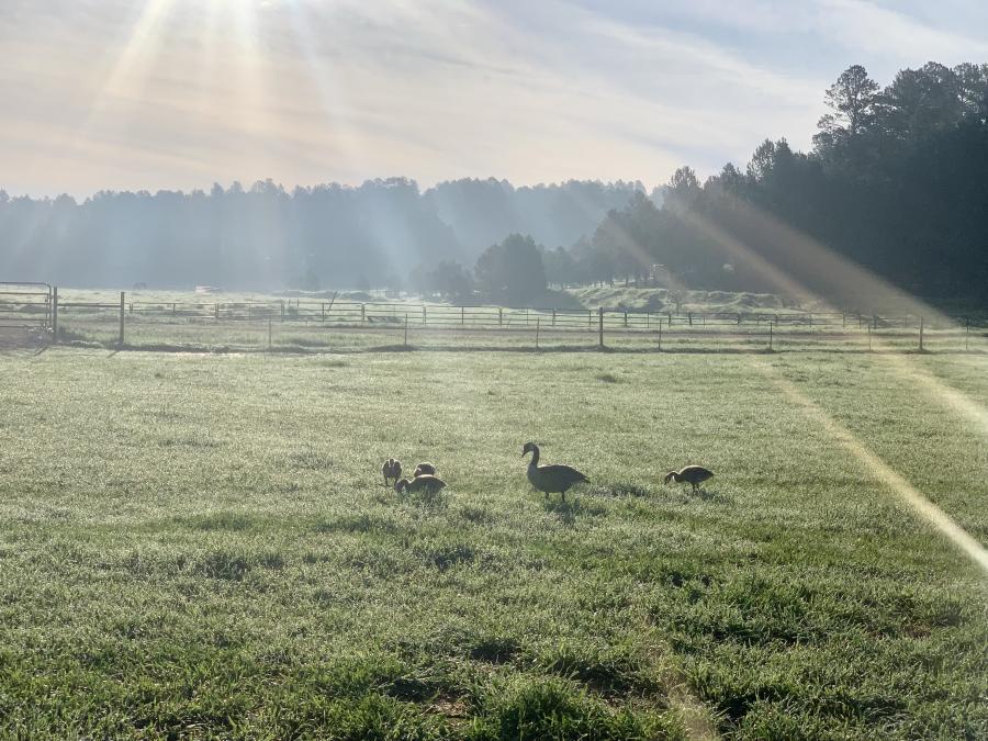 Sunrise With Goslings