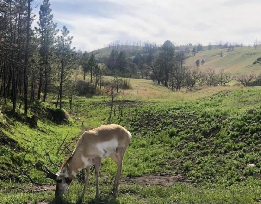 Pronghorn Enjoying A Nice Day