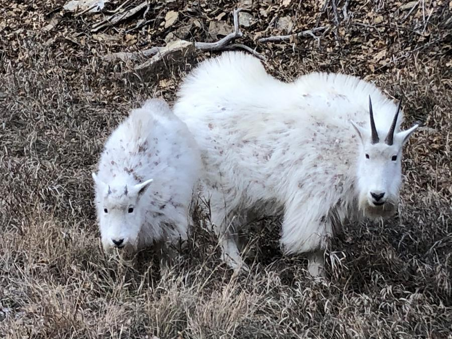 Mountain Goats in Spearfish Canyon