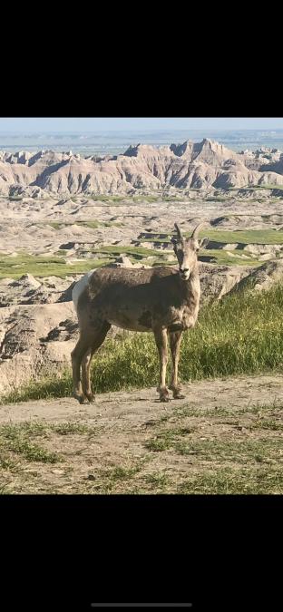Badlands National Park—Bighorn Sheep