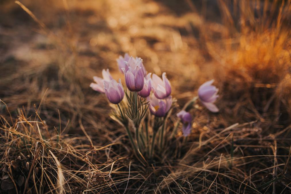 Pasque - South Dakota's State Flower