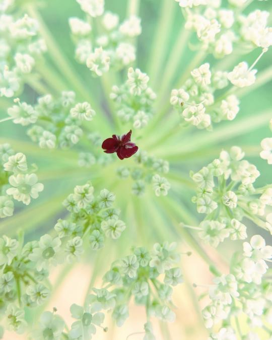 Close up with Queen Anne's Lace: Dare to be Different