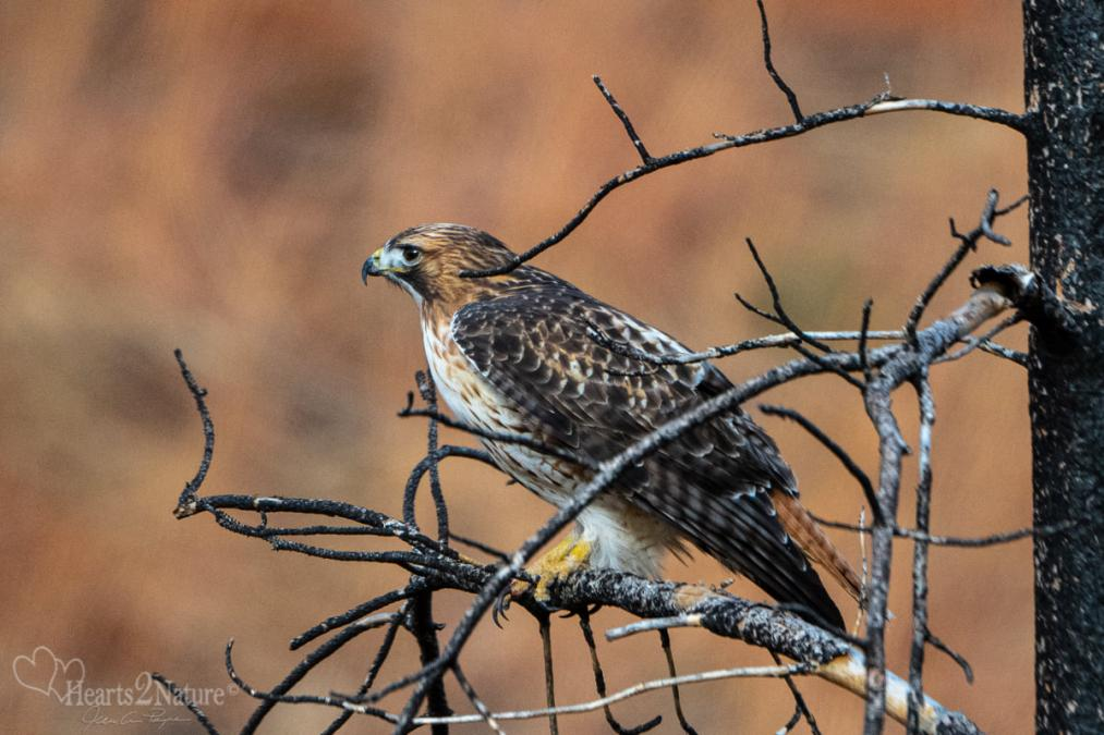 Redtail Hawk in Wintry Custer State Park