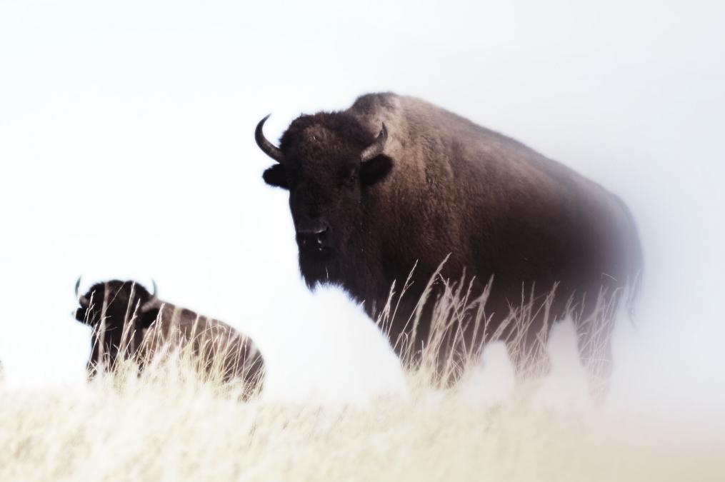 CSP Bison
