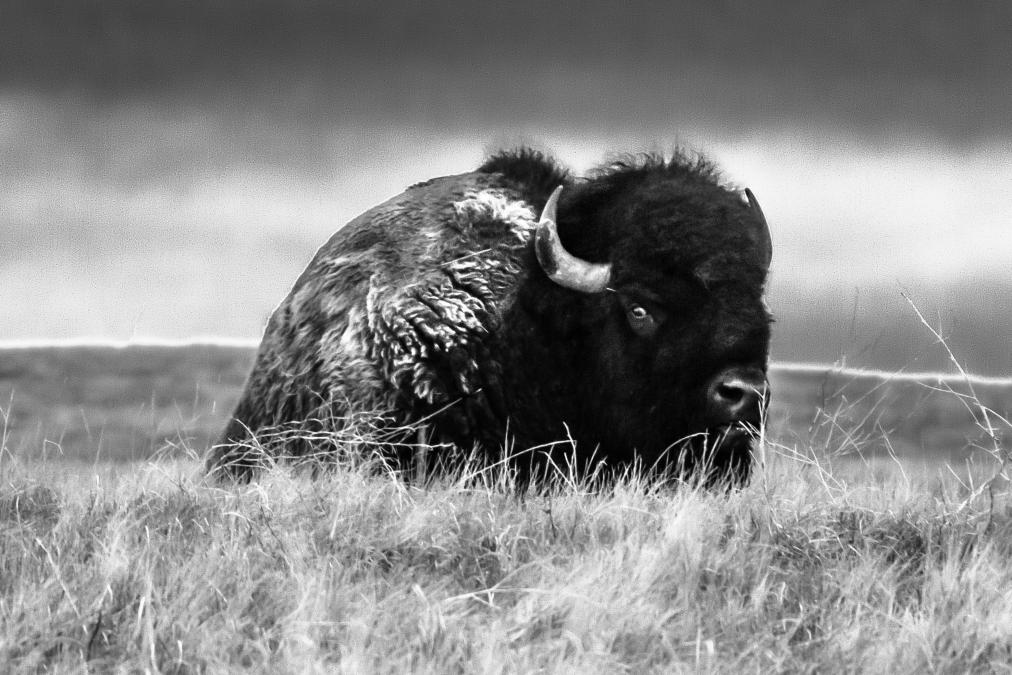 Bison Side-Eye