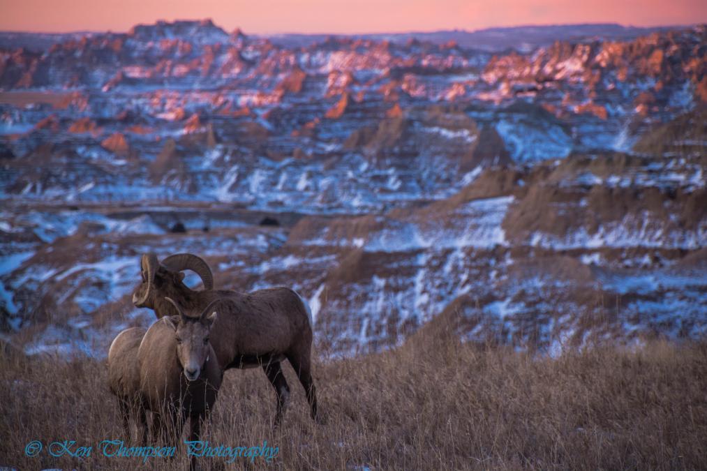 Bighorns in Badlands NP