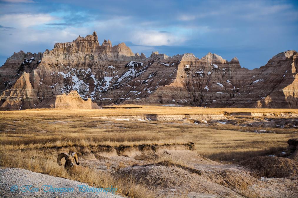 Bighorn Ram and Castle Butte in Badlands National Park