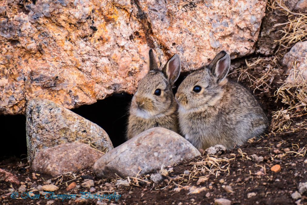 Custer State Park Baby Bunnies