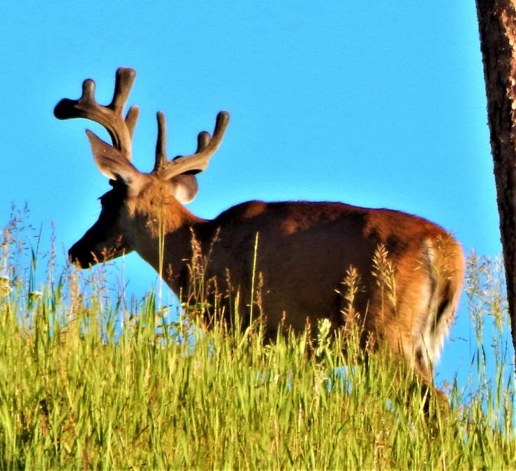 Beautiful Big Buck
