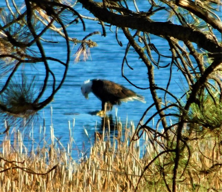 Bald Eagle Getting a Drink