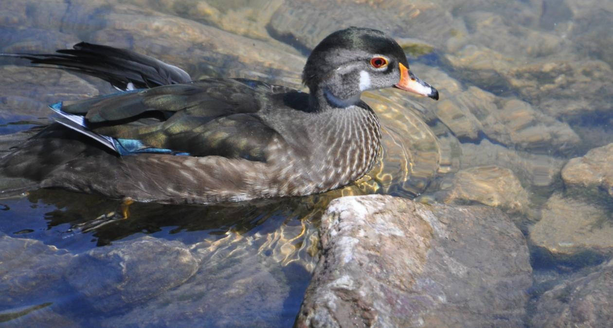 Duck - Spearfish Hatchery