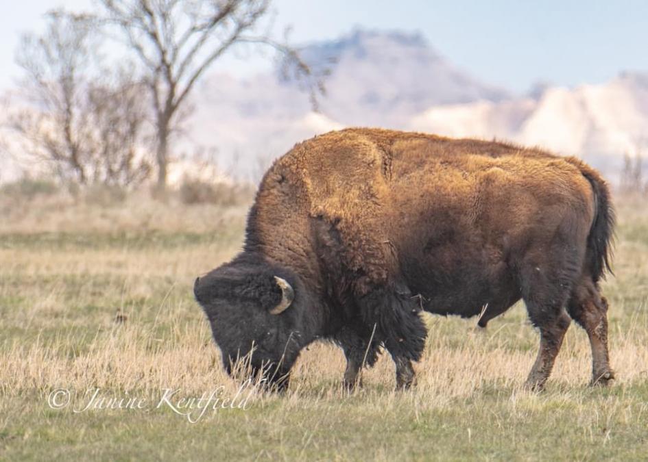 Badlands and Buffalo