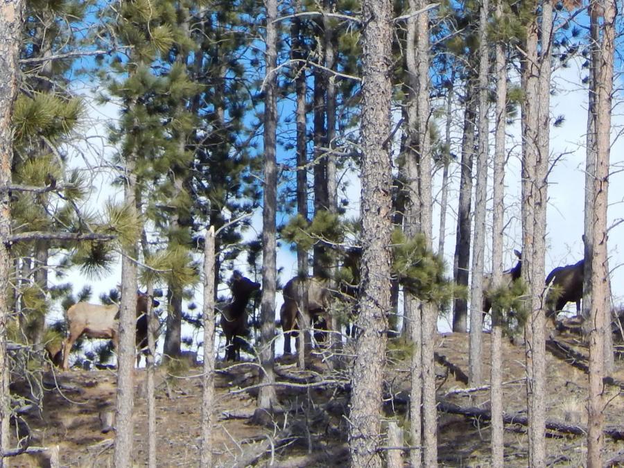 Peek-a-Boo Elk