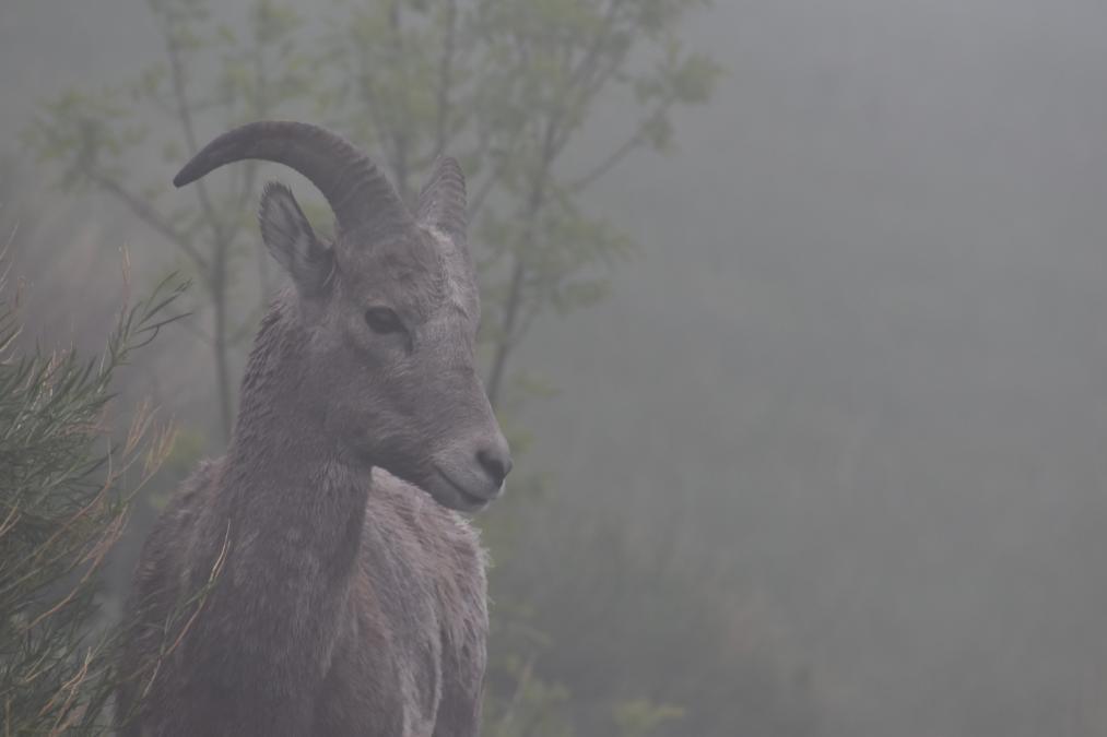 Early Morning Fog Badlands Sheep