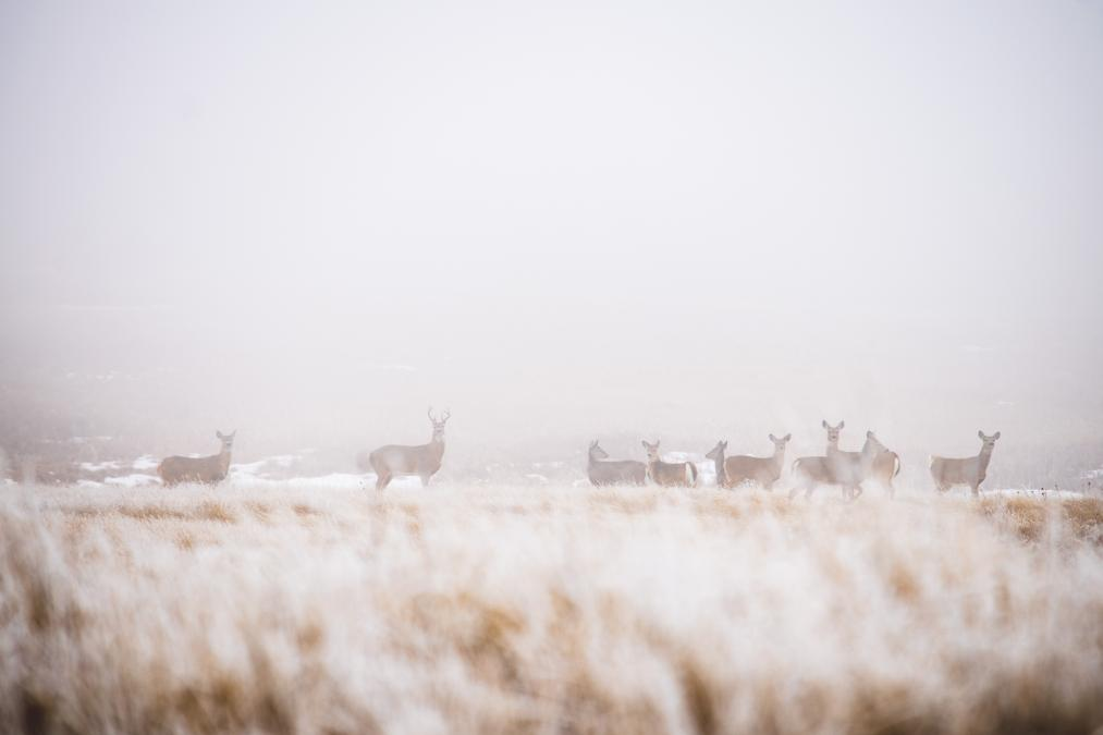 Deer in the Fog