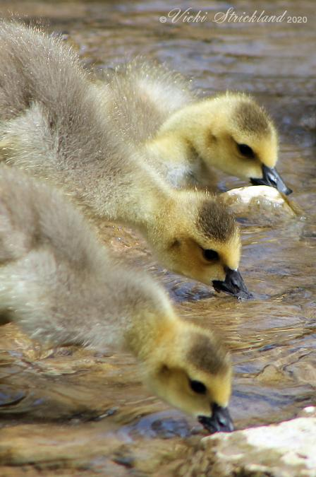 I Have My Goslings in a Row