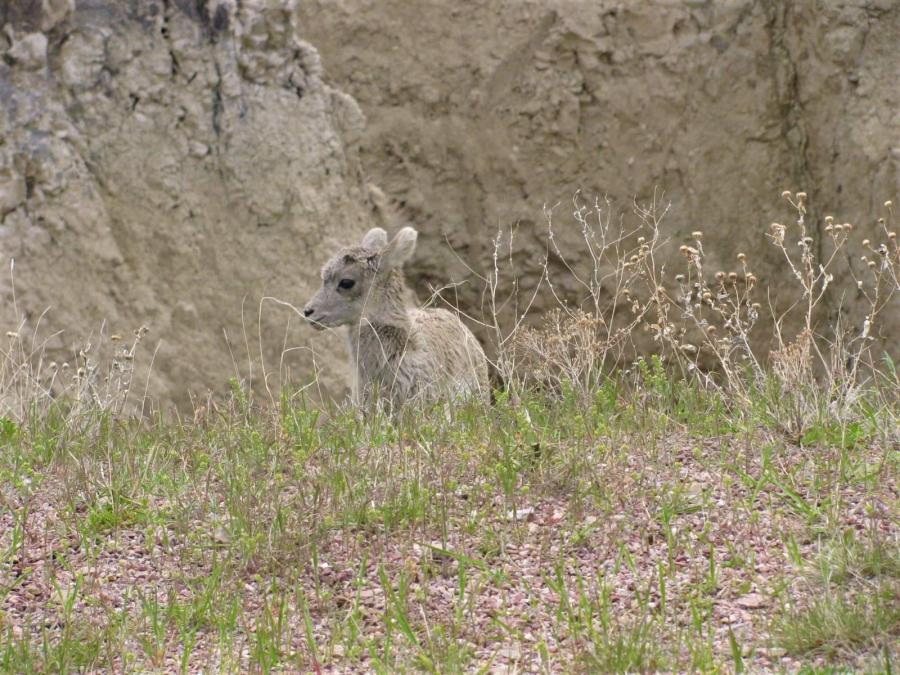 Lamb of the Badlands