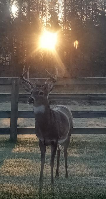 Morning Buck