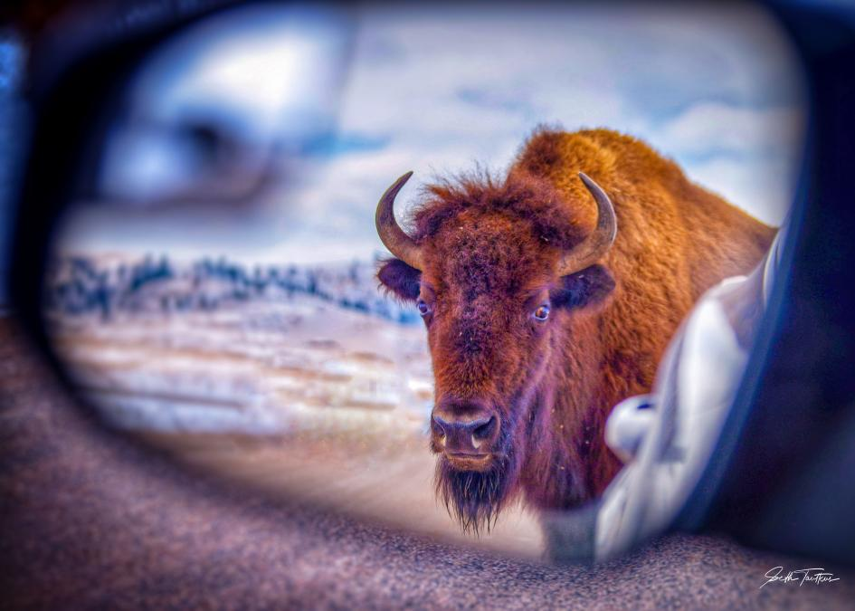 Bison in Mirror Are Closer Than They Appear