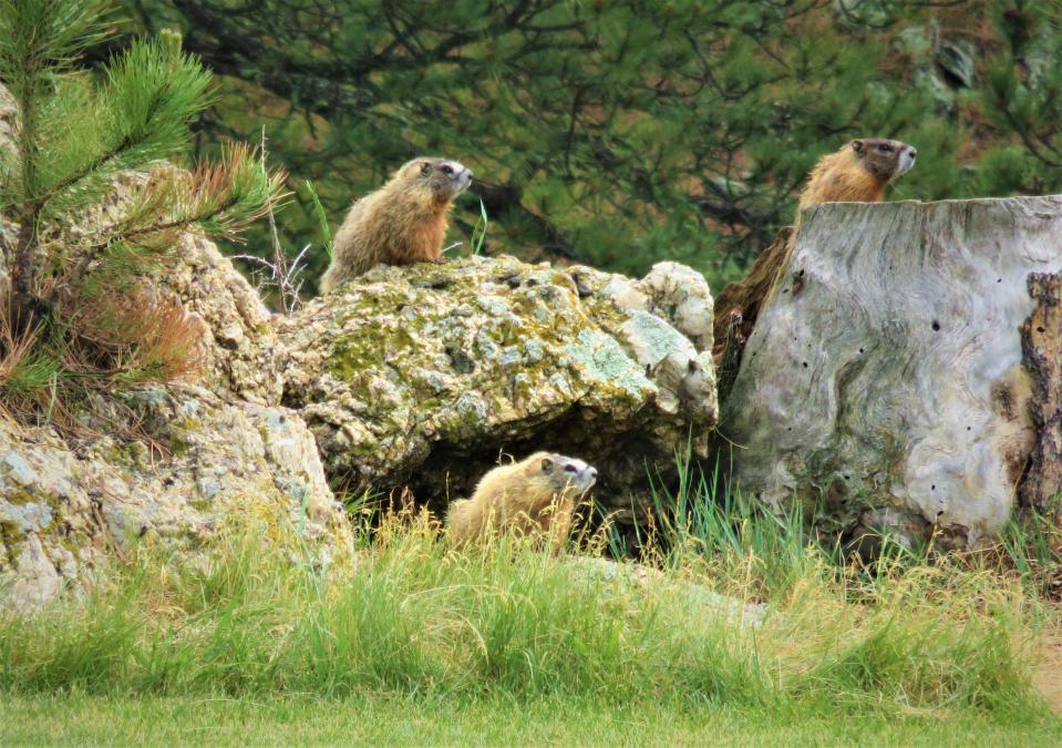 Marmot Convention