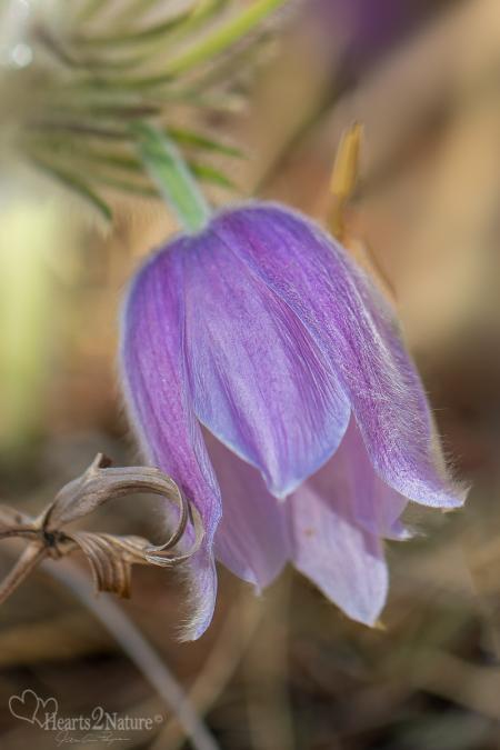 Pasque Flowertime in South Dakota