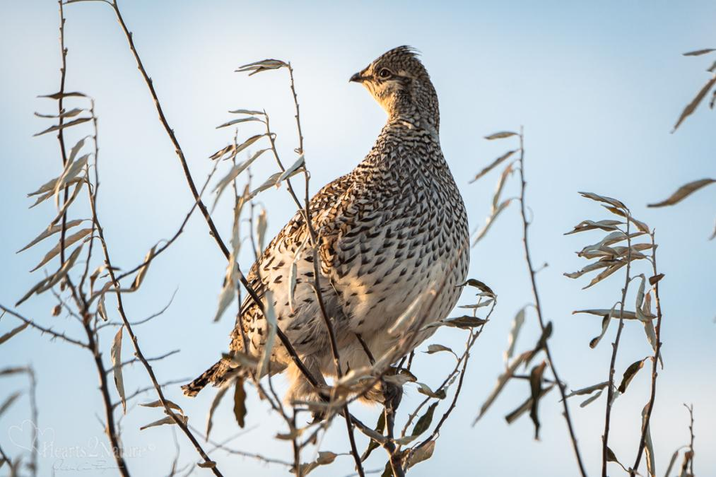 Sharp-Tail Grouse Perches High