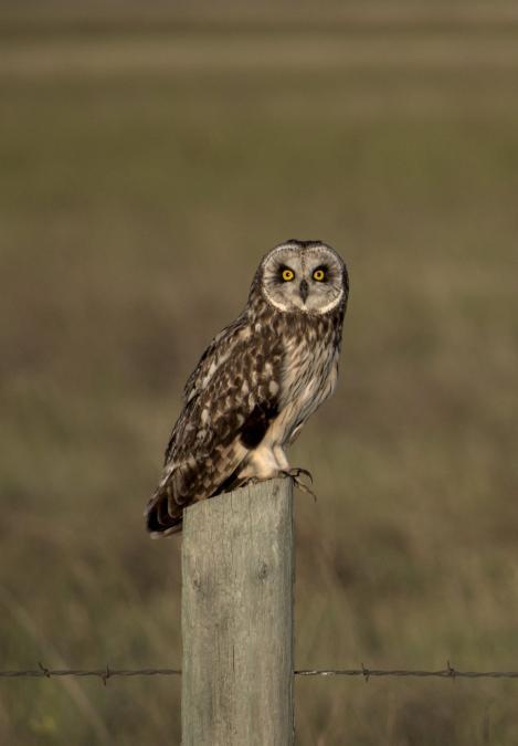 Short Eared Owl, Badlands